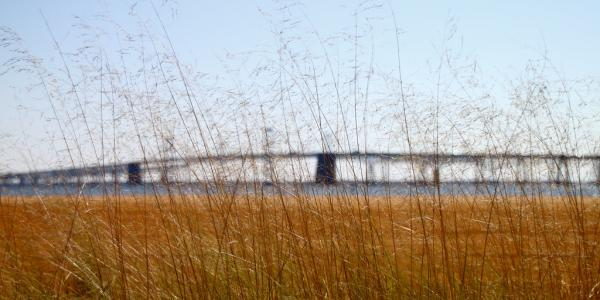 Grasses in front of the Bay bridge in Maryland